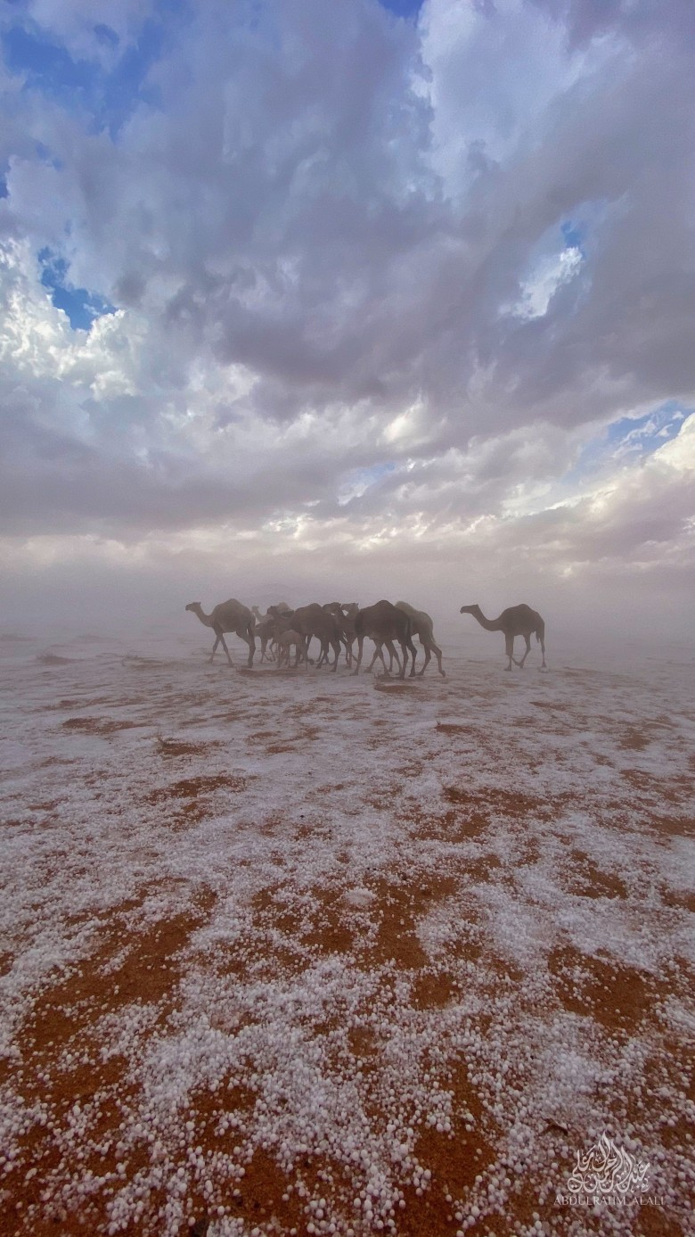 In Saudi Arabia ... the sight of a herd of black camels on a white blanket, after the heavy cold, is shocking the internet